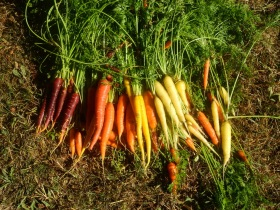 Fresh Carrots from the Garden