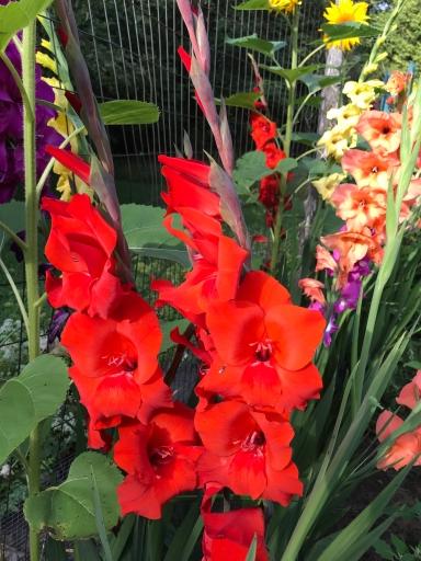 flowers glads